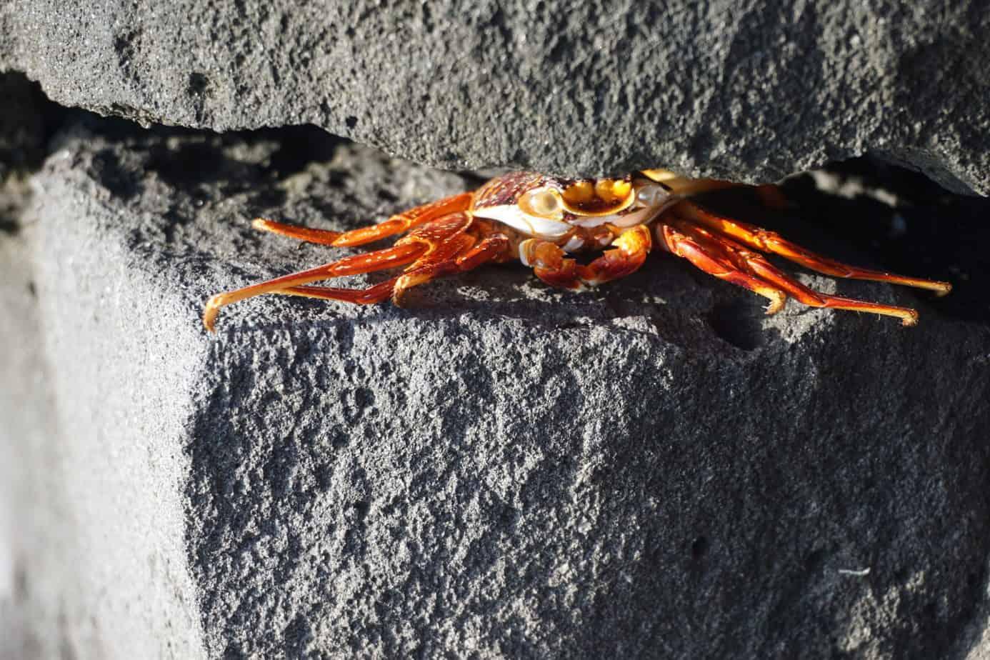 Rote Krabben gibt es zuhauf am Strand.